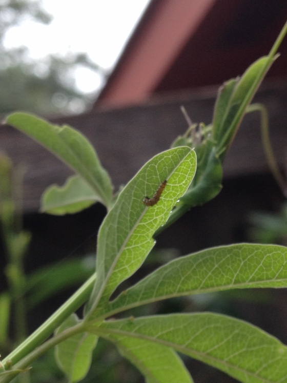 New Caterpillar with PassionVine