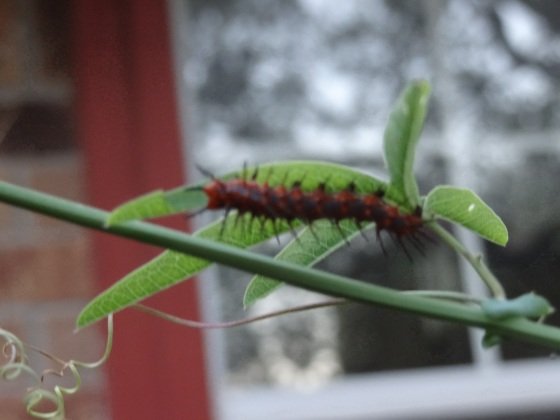 Hungry gulf fritillary caterpillar on passion flower vine