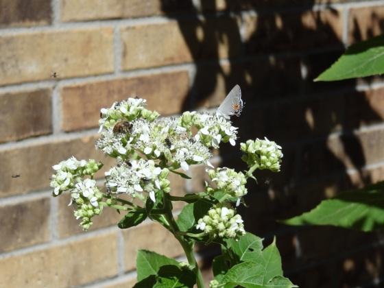 Frostweed, butterfly, bee