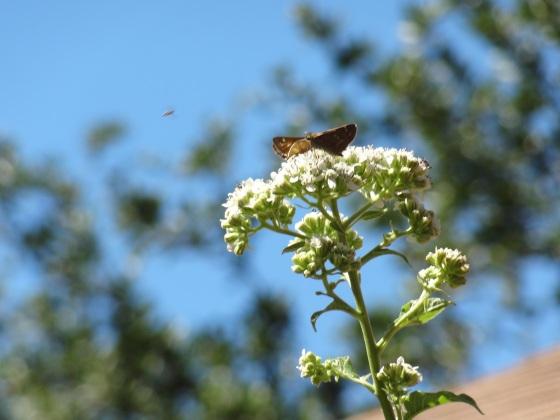 Frostweed&Butterflies