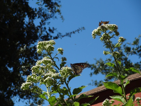 Frostweed and Monarch and other butterflies