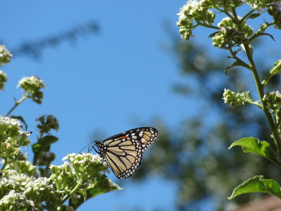 Monarch - closed wing
