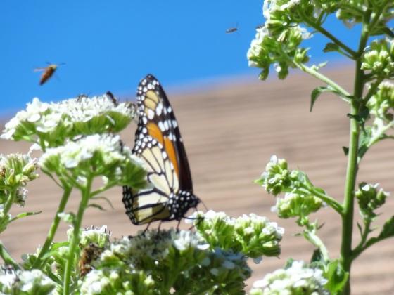 Monarch 2014