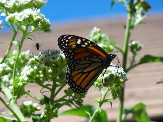 Monarch with Frostweed 2014