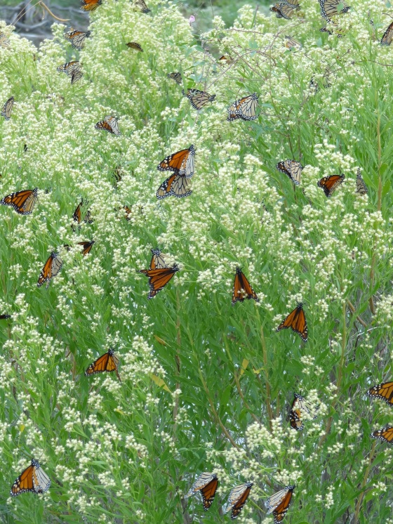 Monarchs Nectaring in the middle of migrating to Mexico.
