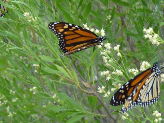 MonarchsPlano6