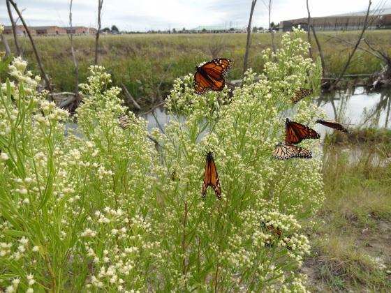 Monarchs Plano7
