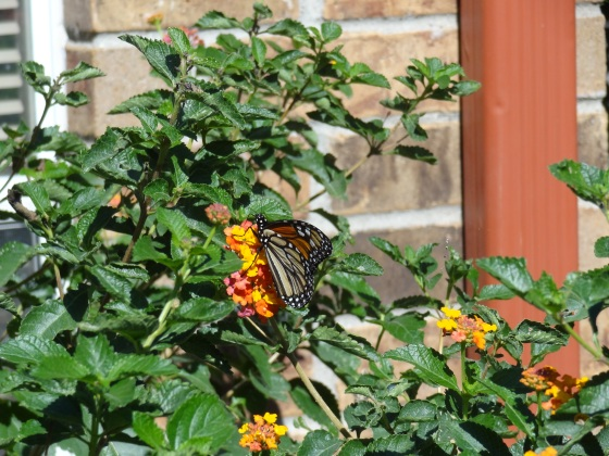 Monarch on Lantana Oct 2014