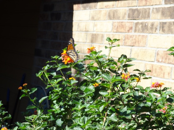 Monarch with Lantana 3