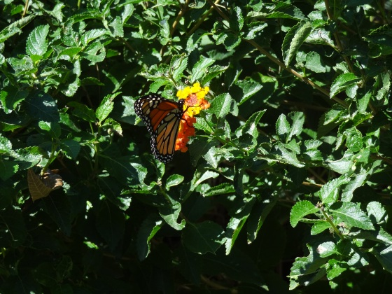 Monarch with Lantana 4