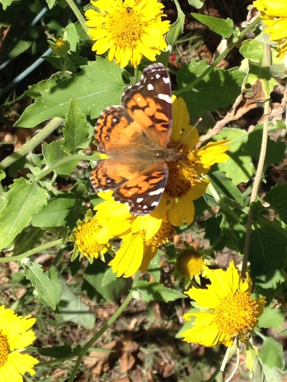 Painted Lady Butterfly on Cosmos Daisy Oct. 2014