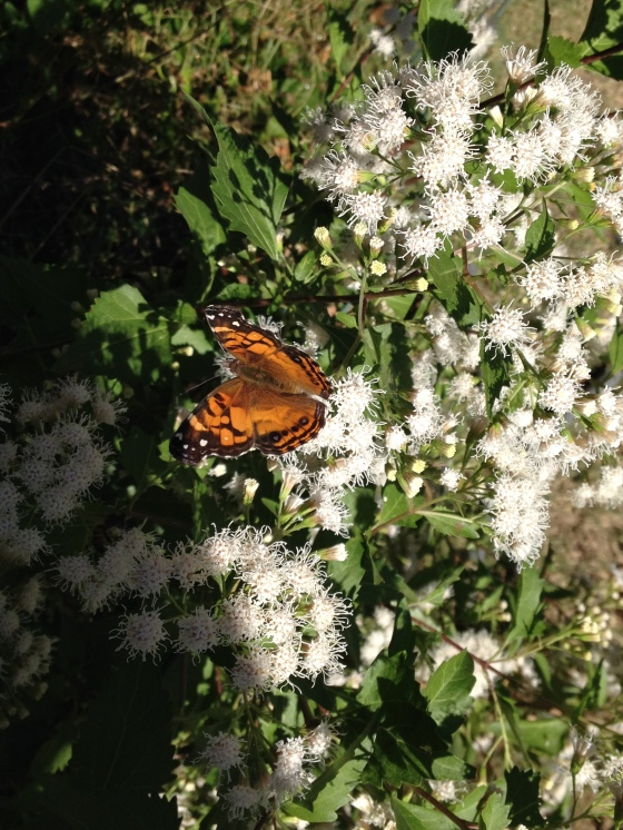 Painted Lady Butterfly with Mistflower Oct. 2014