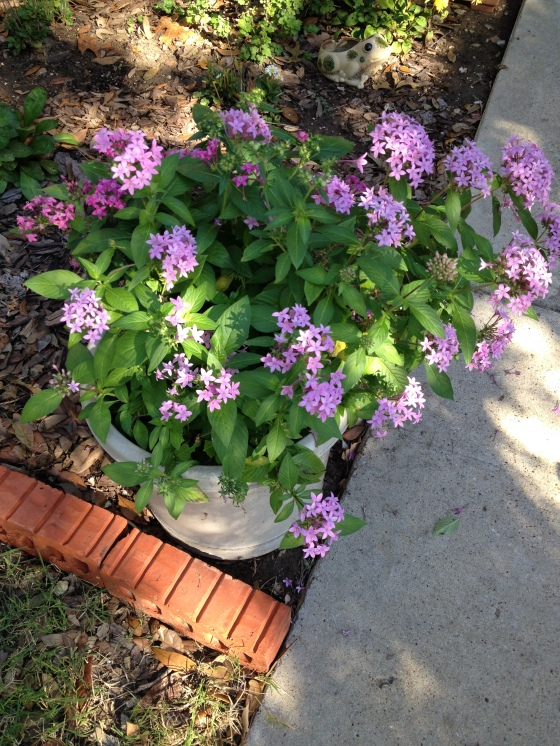 Fall Purple Pentas