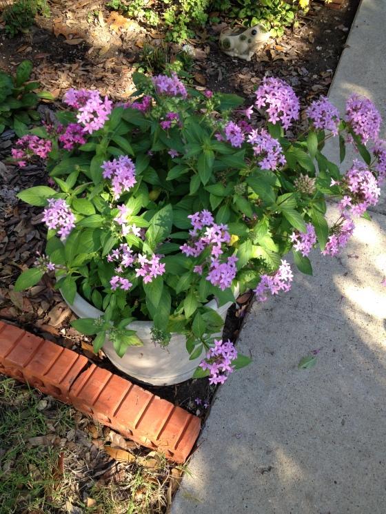 Fall Purple Pentas
