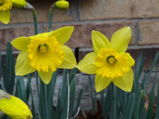 Daffodils With Raindrops