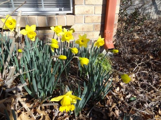 Daffodil Four
