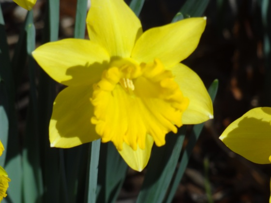 Daffodil Five
