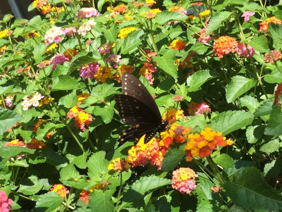 BlackSwallowtail2016.jpg