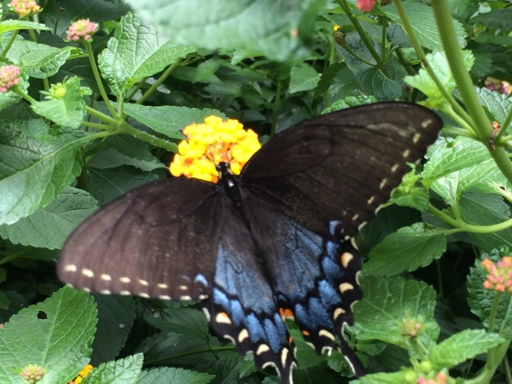 Blackswallowtail3