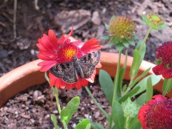 ButterflyOnBlanketFlower