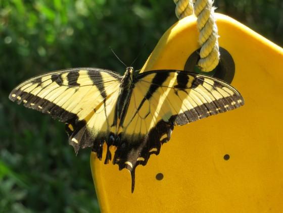 SwallowtailSwing